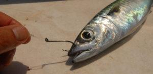 come innescare pesce vivo