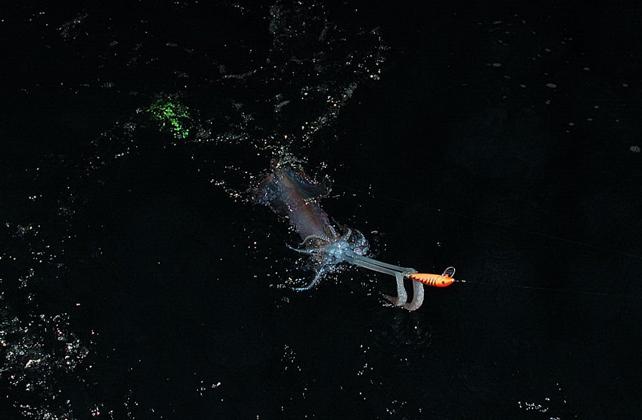Calamaro sfondo nero